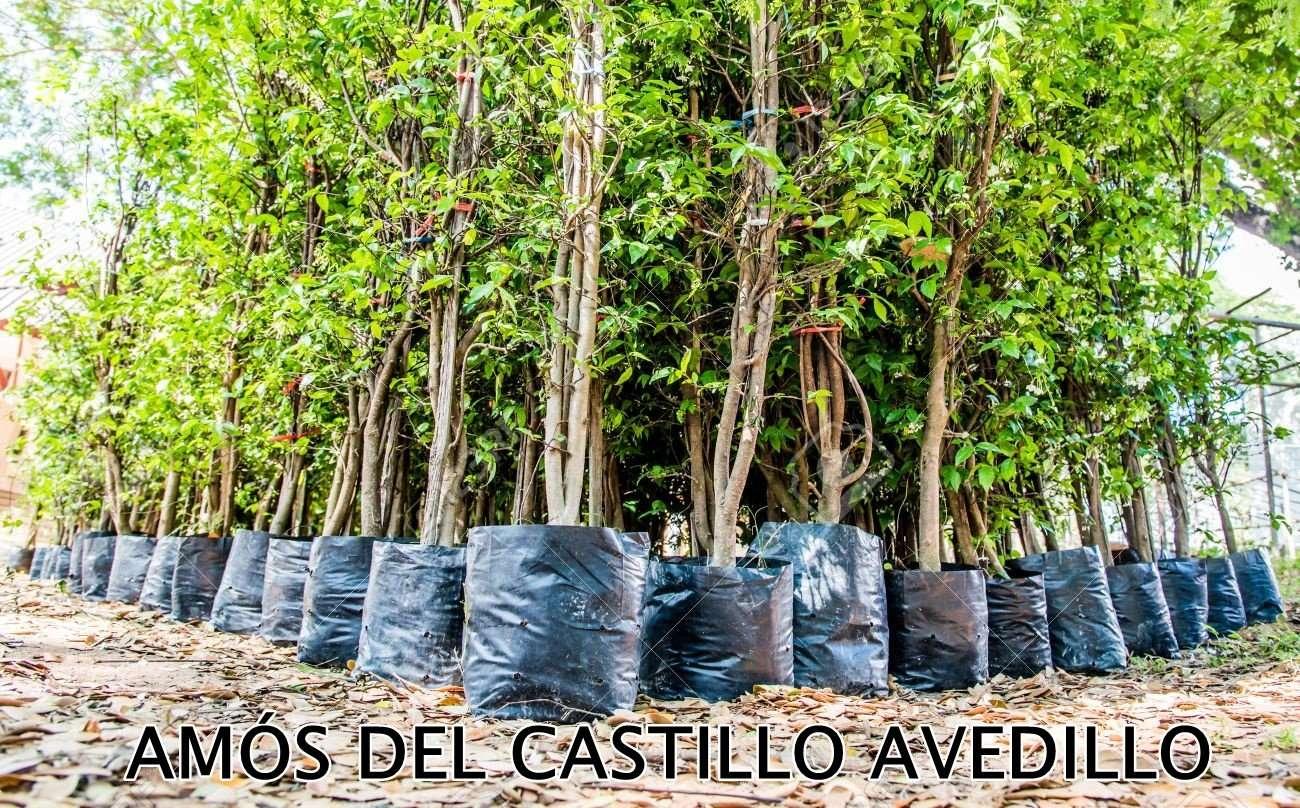 AMOS DEL CASTILLO AVEDILLO